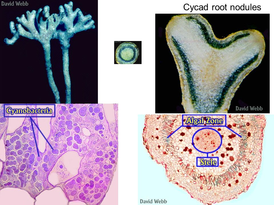 Cycad root nodules