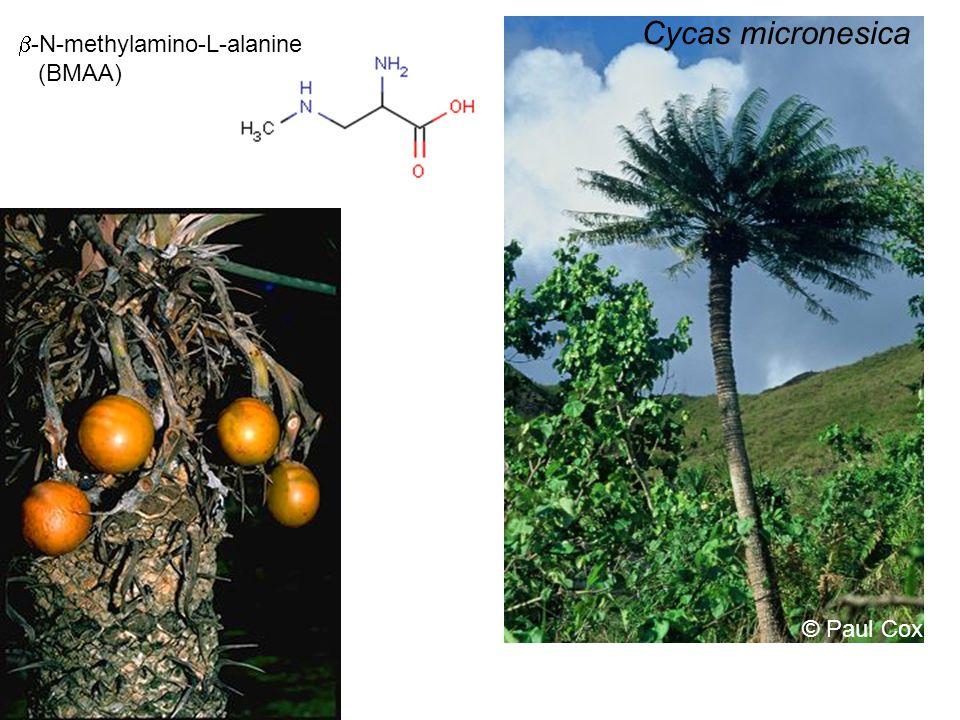 © Paul Cox Cycas micronesica  -N-methylamino-L-alanine (BMAA)