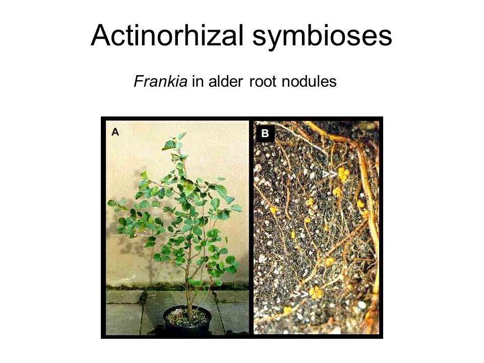 Frankia in alder root nodules Actinorhizal symbioses