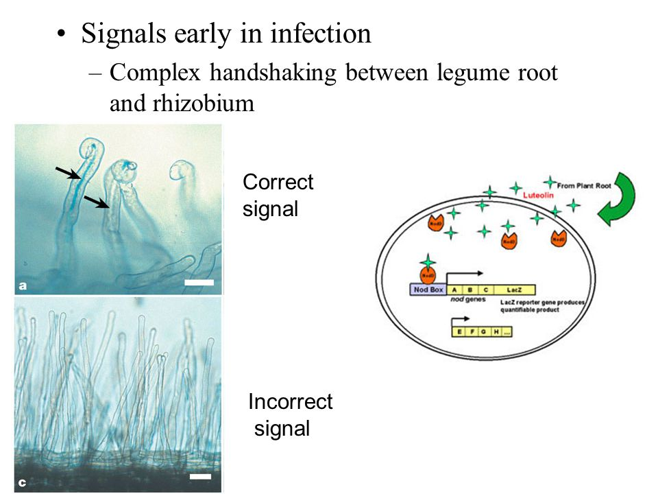 Signals early in infection –Complex handshaking between legume root and rhizobium Incorrect signal Correct signal