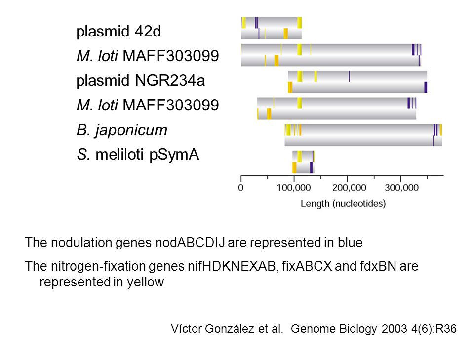 The nodulation genes nodABCDIJ are represented in blue The nitrogen-fixation genes nifHDKNEXAB, fixABCX and fdxBN are represented in yellow plasmid 42