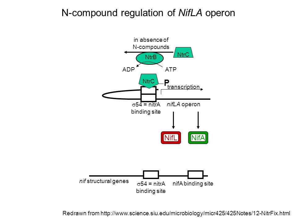Redrawn from http://www.science.siu.edu/microbiology/micr425/425Notes/12-NitrFix.html NifA NifL transcription NtrC in absence of N-compounds NtrB ADPATP nifLA operon  54 = nitrA binding site nif structural genes  54 = nitrA binding site N-compound regulation of NifLA operon NtrC P
