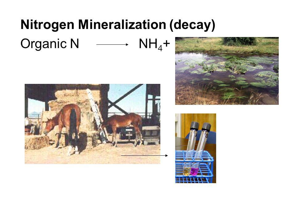 Nitrogen Mineralization (decay) Organic N NH 4 +