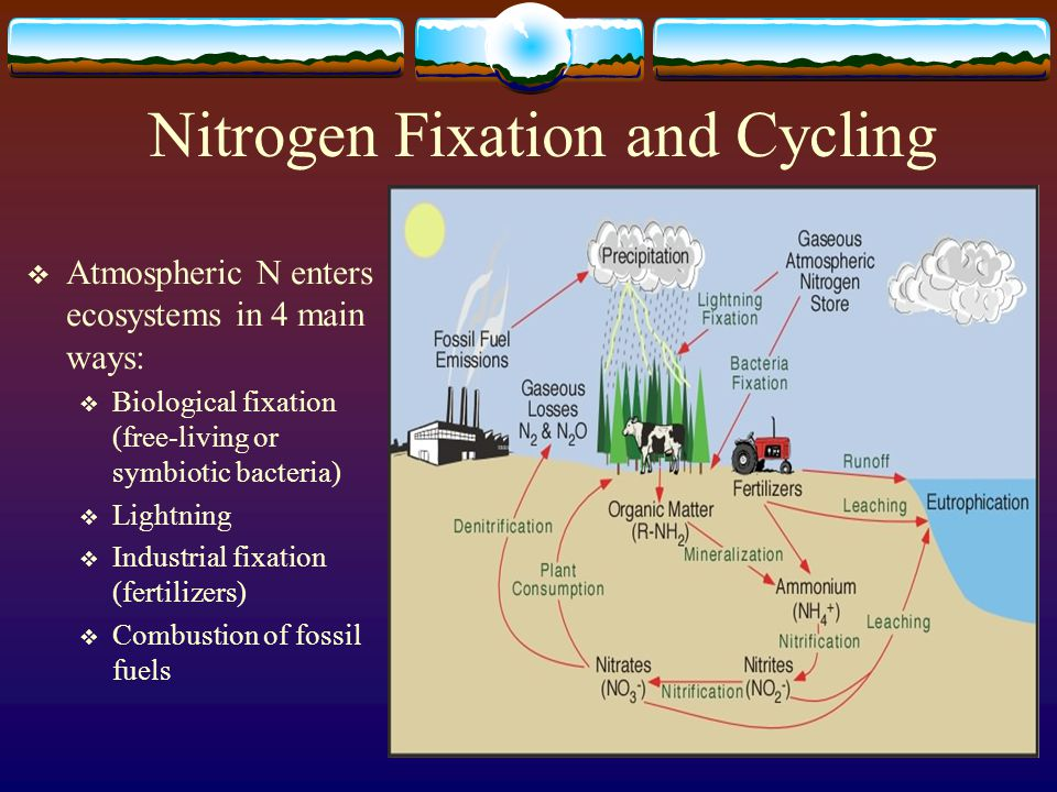 Nitrogen Fixation and Cycling  Atmospheric N enters ecosystems in 4 main ways:  Biological fixation (free-living or symbiotic bacteria)  Lightning  Industrial fixation (fertilizers)  Combustion of fossil fuels