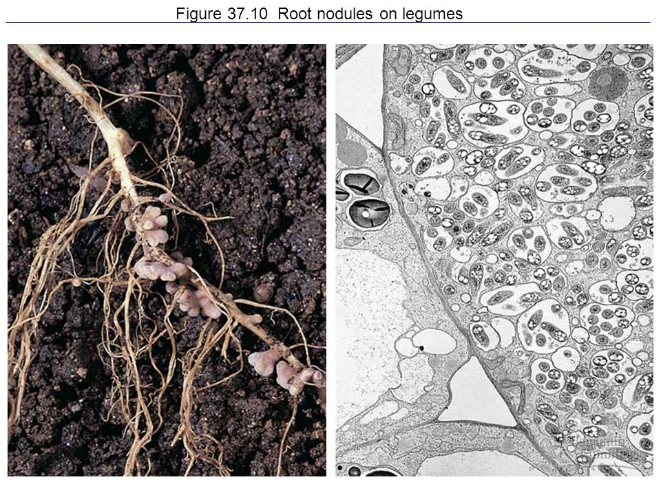 Figure 37.10 Root nodules on legumes