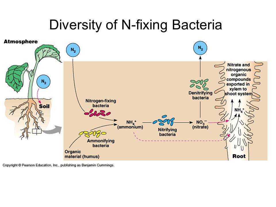 Diversity of N-fixing Bacteria