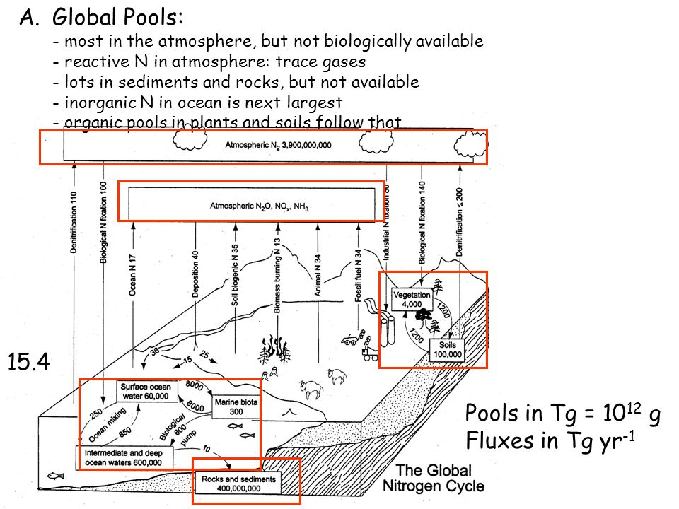 Pools in Tg = 10 12 g Fluxes in Tg yr -1 15.4 A.Global Pools: - most in the atmosphere, but not biologically available - reactive N in atmosphere: trace gases - lots in sediments and rocks, but not available - inorganic N in ocean is next largest - organic pools in plants and soils follow that