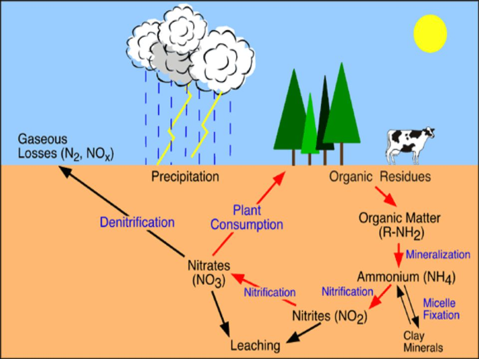 How does the Nitrogen Cycle work? SUMMARY At various stages in the decay process, denitrifying bacteria [soil bacteria that reduce nitrates (NO 3 )or