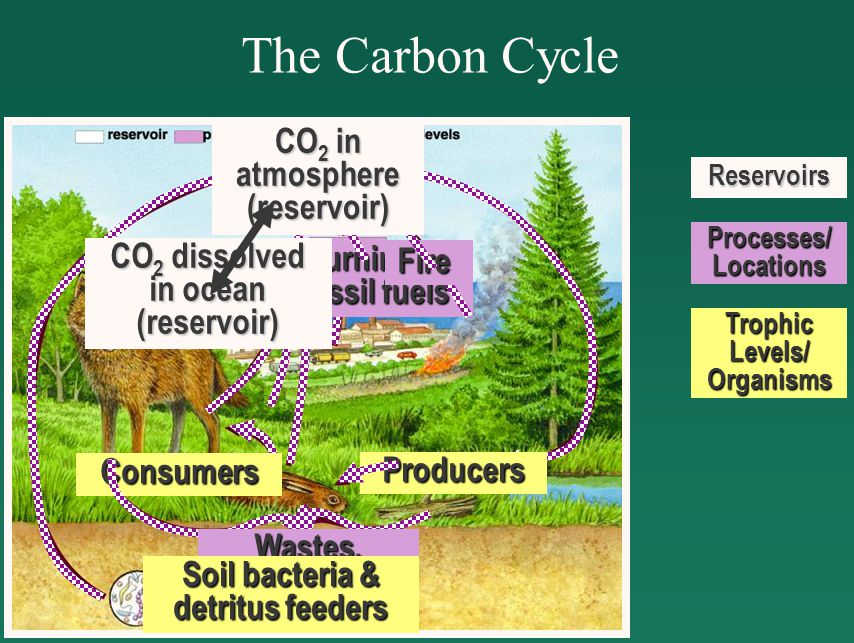 The Carbon CycleReservoirs Processes/ Locations Trophic Levels/ Organisms CO 2 in atmosphere (reservoir) Producers Consumers Wastes, Dead bodies Soil bacteria & detritus feeders CO 2 in atmosphere (reservoir) Consumers Wastes, Dead bodies Soil bacteria & detritus feeders CO 2 in atmosphere (reservoir) Wastes, Dead bodies Soil bacteria & detritus feeders CO 2 in atmosphere (reservoir) Respiration Burning of fossil fuels CO 2 in atmosphere (reservoir) Fire CO 2 dissolved in ocean (reservoir) CO 2 in atmosphere (reservoir)