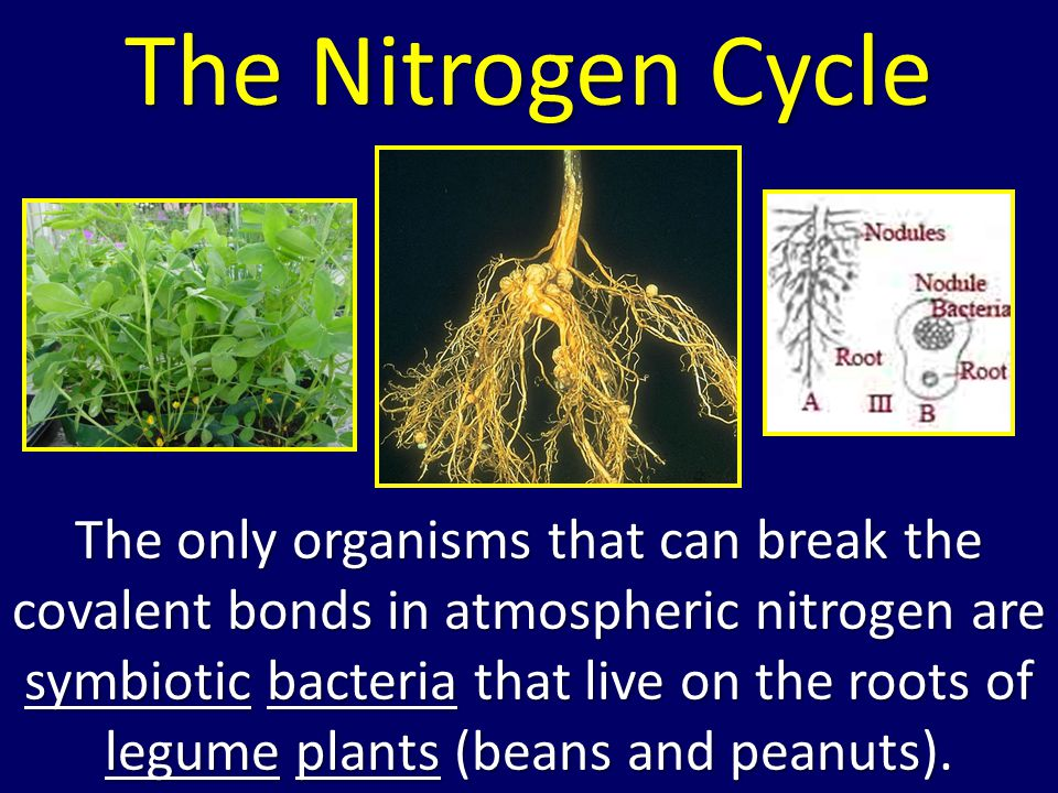 The only organisms that can break the covalent bonds in atmospheric nitrogen are symbiotic bacteria that live on the roots of legume plants (beans and peanuts).