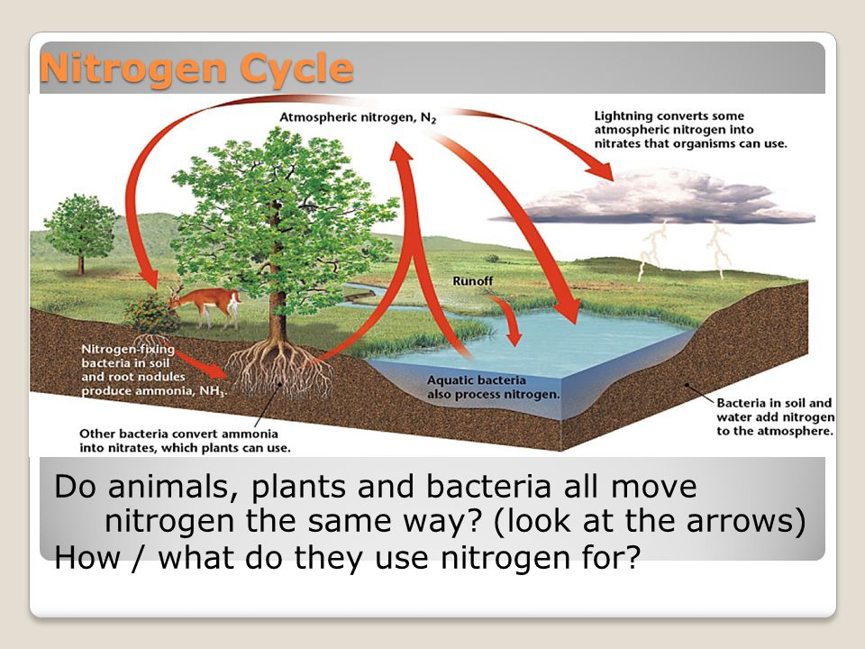 Nitrogen Cycle Do animals, plants and bacteria all move nitrogen the same way.
