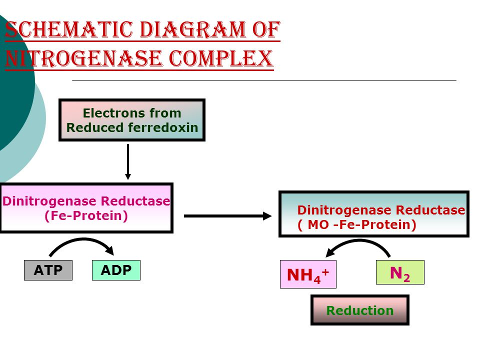 Schematic diagram of nitrogenase complex Electrons from Reduced ferredoxin Dinitrogenase Reductase (Fe-Protein) Dinitrogenase Reductase ( MO -Fe-Prote