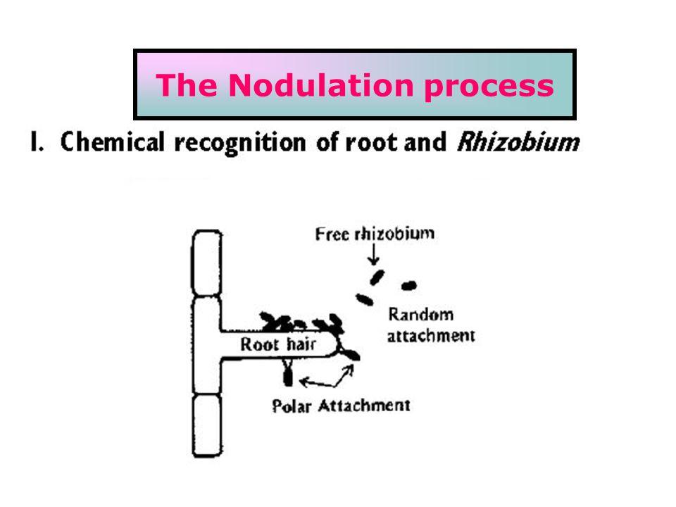 The Nodulation process