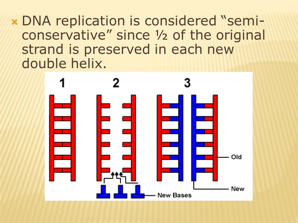 " DNA replication is considered ""semi- conservative"" since ½ of the original strand is preserved in each new double helix."