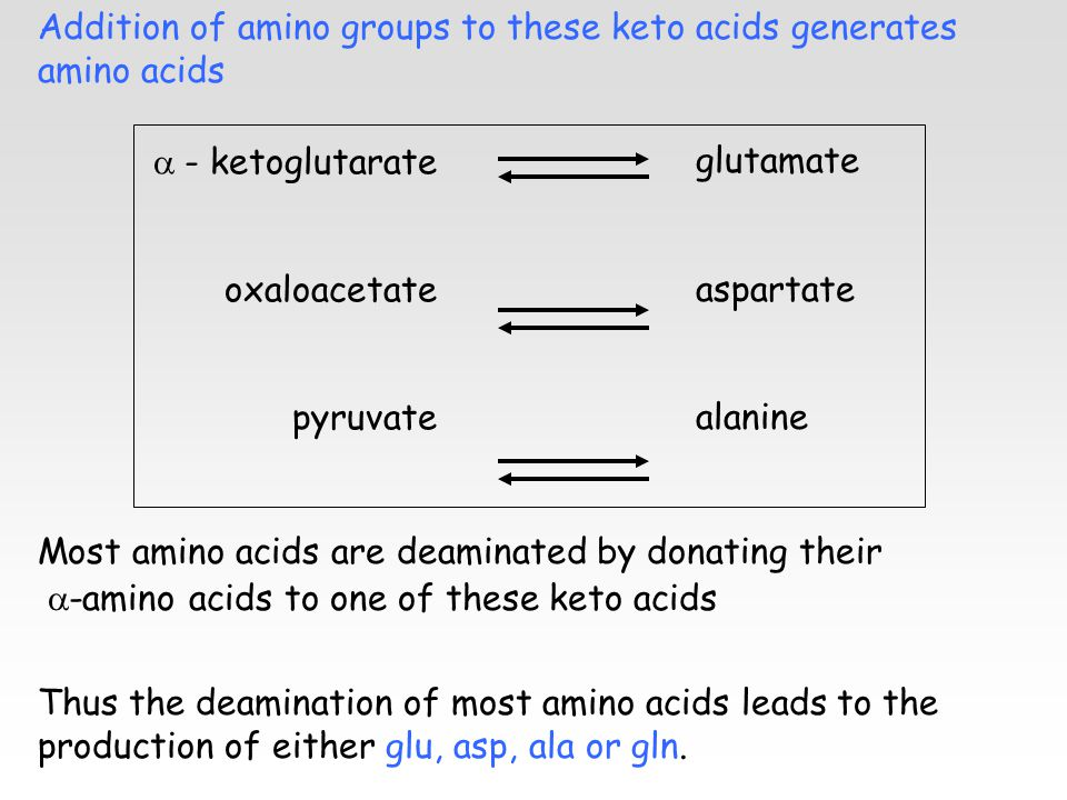 Addition of amino groups to these keto acids generates amino acids Most amino acids are deaminated by donating their  -amino acids to one of these keto acids  - ketoglutarate oxaloacetate pyruvate glutamate aspartate alanine Thus the deamination of most amino acids leads to the production of either glu, asp, ala or gln.