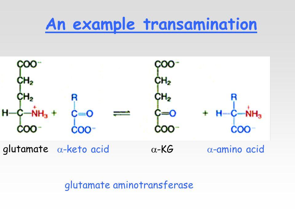 An example transamination glutamate  -KG  -amino acid  -keto acid glutamate aminotransferase