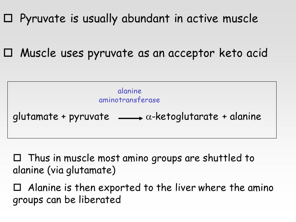 o Pyruvate is usually abundant in active muscle o Muscle uses pyruvate as an acceptor keto acid glutamate + pyruvate  -ketoglutarate + alanine alanine aminotransferase o Thus in muscle most amino groups are shuttled to alanine (via glutamate) o Alanine is then exported to the liver where the amino groups can be liberated