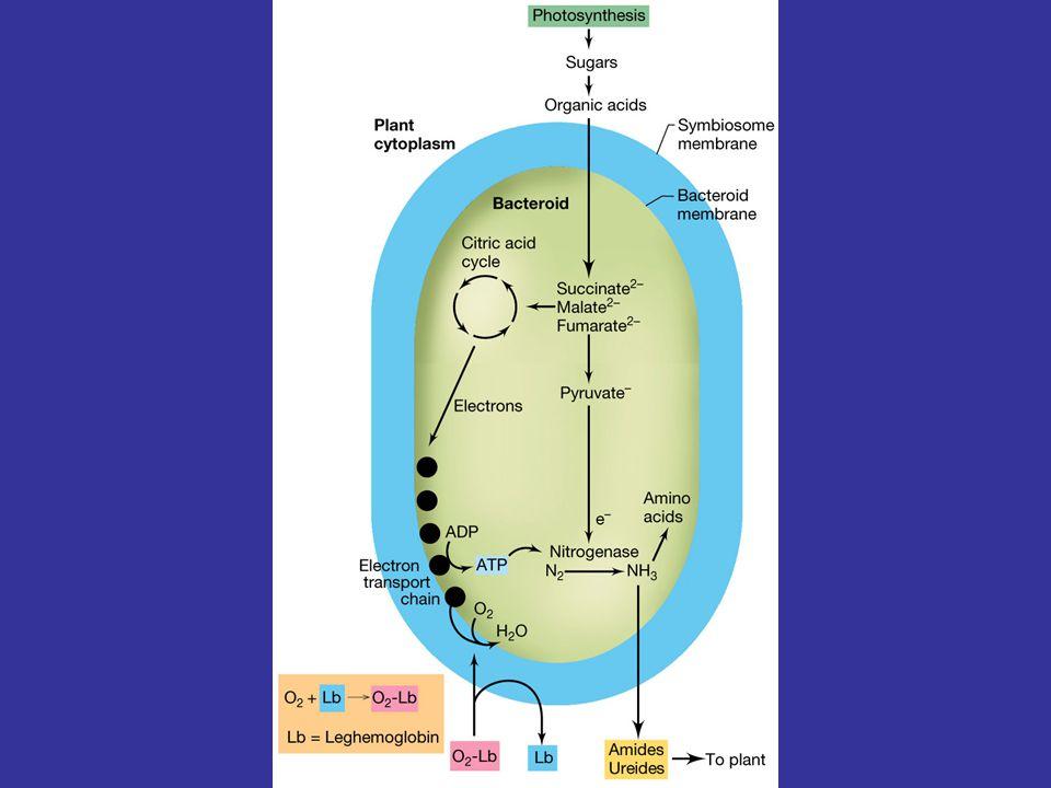 Inhibitor of nodulation Inducers of nodulation in Rhizobium leguminosarum bv viciae luteolin eriodictyol genistein Figure 19.70