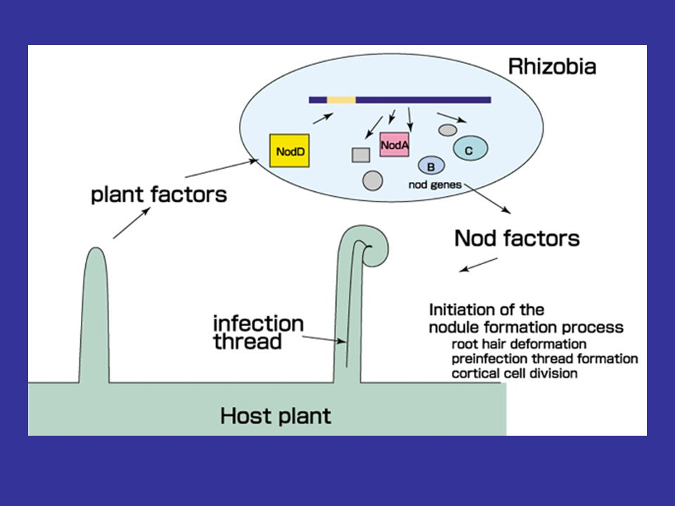 Symbiotic Nitrogen Fixation The Rhizobium-legume association Bacterial associations with certain plant families, primarily legume species, make the largest single contribution to biological nitrogen fixation in the biosphere