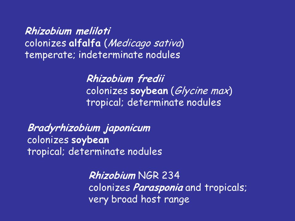 Typical Associations (cross-inoculation groups) Rhizobium leguminosarum biovar phaseoli colonizes bean (Phaseolus spp.) (tropical; determinate nodules
