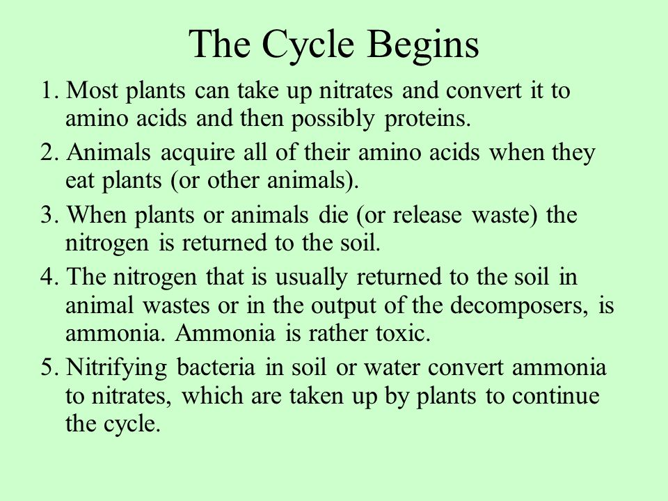 The Cycle Begins 1. Most plants can take up nitrates and convert it to amino acids and then possibly proteins. 2. Animals acquire all of their amino a