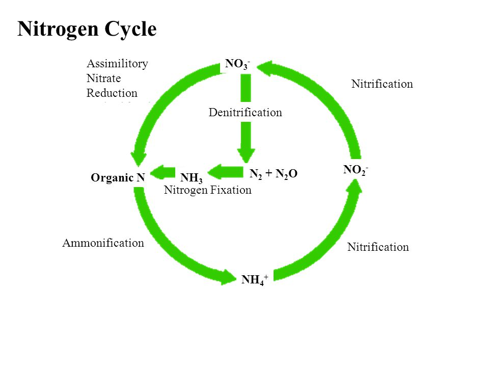 Nitrogen Cycle Assimilitory Nitrate Reduction Nitrification Ammonification Nitrogen Fixation Denitrification Organic NNH 3 N 2 + N 2 O NH 4 + NO 2 - NO 3 -