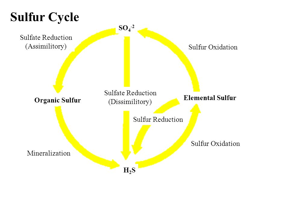 Sulfur Cycle SO 4 -2 Sulfate Reduction (Assimilitory) Organic Sulfur H2SH2S Mineralization Sulfur Oxidation Sulfate Reduction (Dissimilitory) Elementa