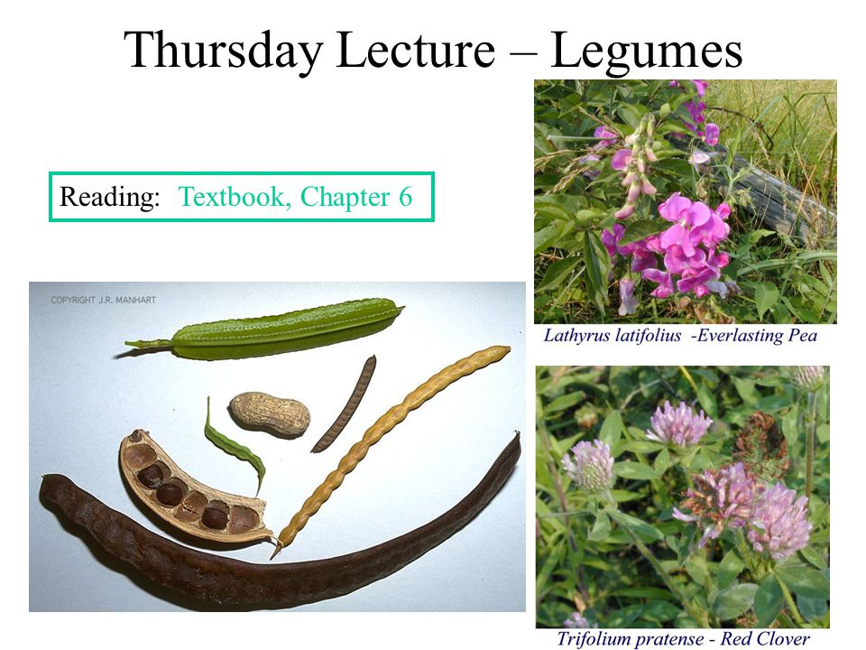 Nutritional Aspects of Legumes See Box 6.2, page 142 1.Legumes produce many N-containing compounds - nutritious foods (proteins, vitamins) - poisons (alkaloids, cyanogens) 2.Amino acid content of proteins – complements grains 3.High fiber levels 4.Isoflavones – appear to lower cholesterol levels 5.Phytoestrogens  may help relieve menopause symptoms 6.Oligosaccharides (beans, beans, the musical fruit … - see Box 6.3, page 150)