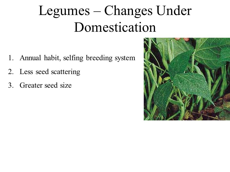 Legumes – Changes Under Domestication 1.Annual habit, selfing breeding system 2.Less seed scattering 3.Greater seed size