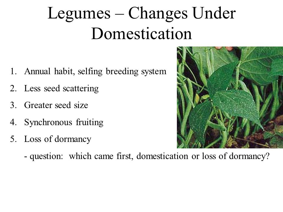 Legumes – Changes Under Domestication 1.Annual habit, selfing breeding system 2.Less seed scattering 3.Greater seed size 4.Synchronous fruiting 5.Loss of dormancy - question: which came first, domestication or loss of dormancy