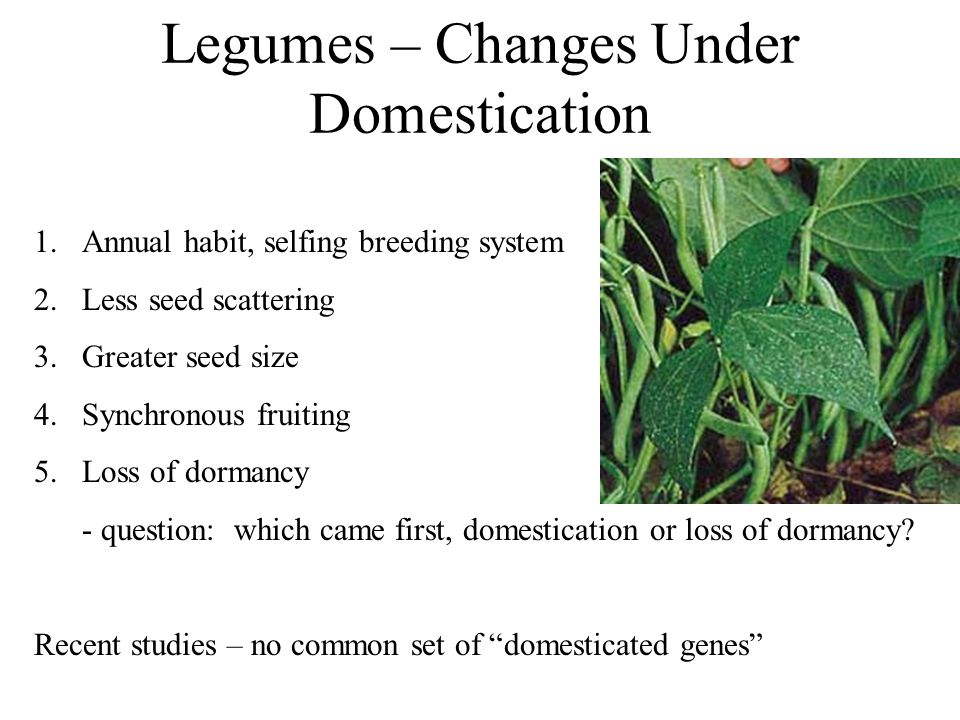 Legumes – Changes Under Domestication 1.Annual habit, selfing breeding system 2.Less seed scattering 3.Greater seed size 4.Synchronous fruiting 5.Loss of dormancy - question: which came first, domestication or loss of dormancy.