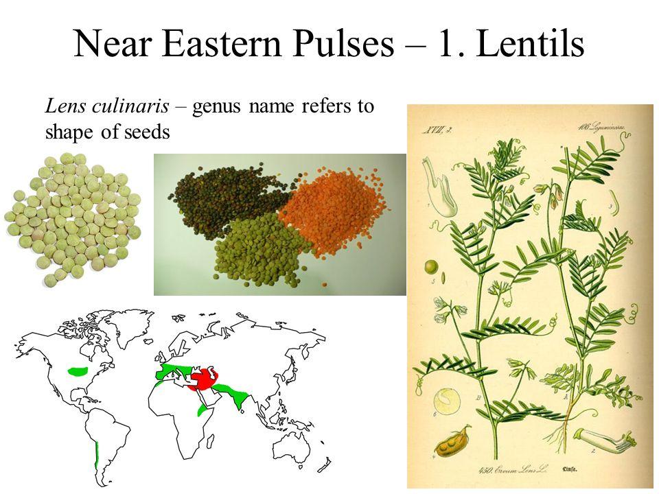 Near Eastern Pulses – 1. Lentils Lens culinaris – genus name refers to shape of seeds
