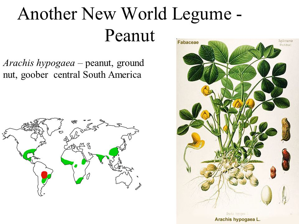 Another New World Legume - Peanut Arachis hypogaea – peanut, ground nut, goober central South America