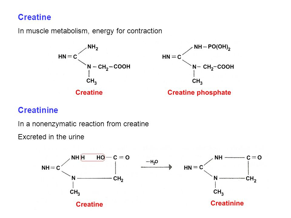 Creatine In muscle metabolism, energy for contraction Creatinine In a nonenzymatic reaction from creatine Excreted in the urine