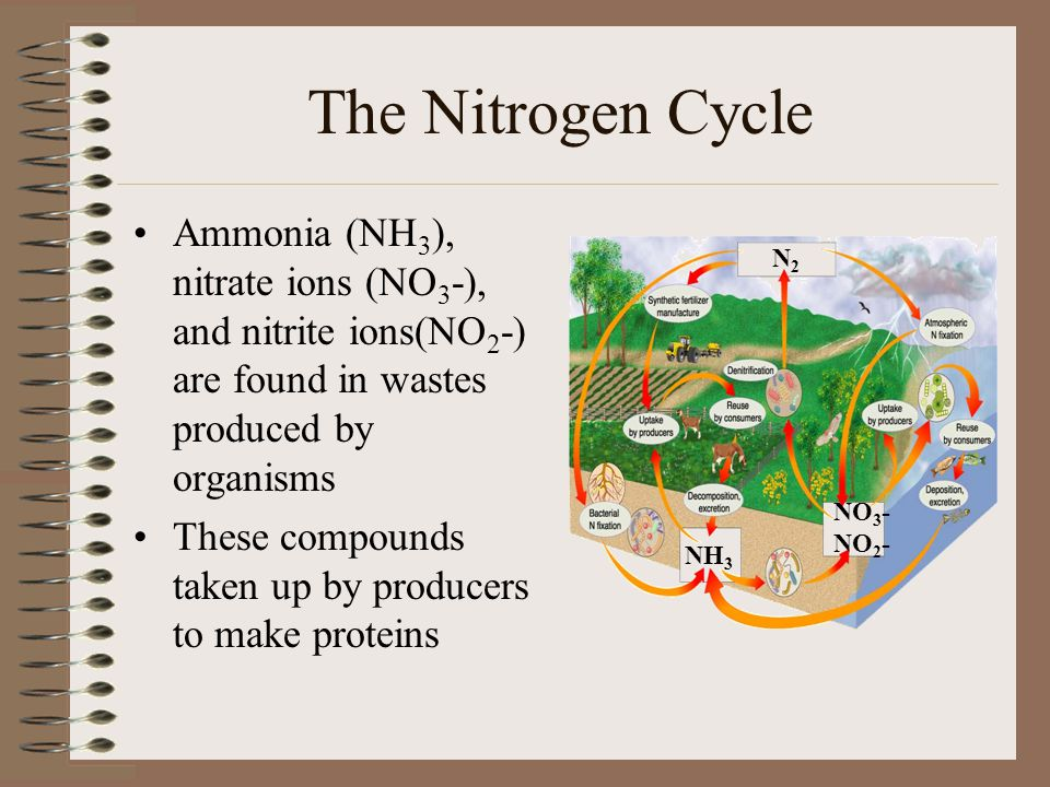 The Nitrogen Cycle Ammonia (NH 3 ), nitrate ions (NO 3 -), and nitrite ions(NO 2 -) are found in wastes produced by organisms These compounds taken up by producers to make proteins N2N2 NH 3 NO 3 - NO 2 -