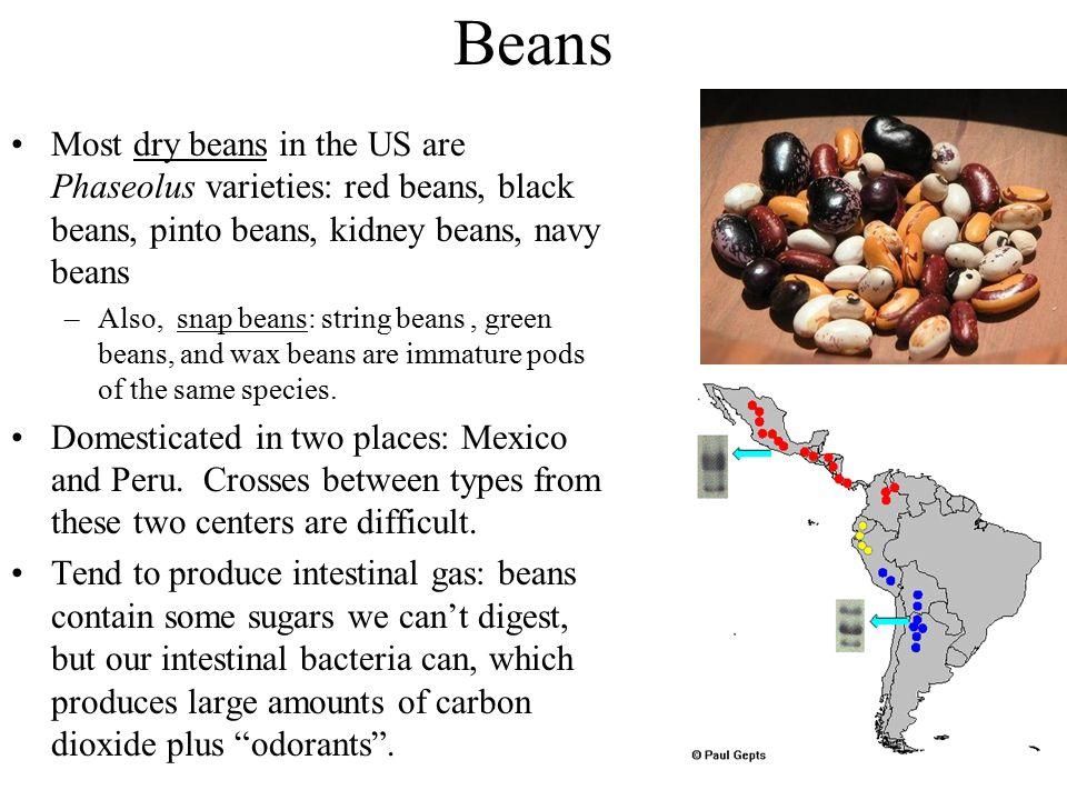 Beans Most dry beans in the US are Phaseolus varieties: red beans, black beans, pinto beans, kidney beans, navy beans –Also, snap beans: string beans,