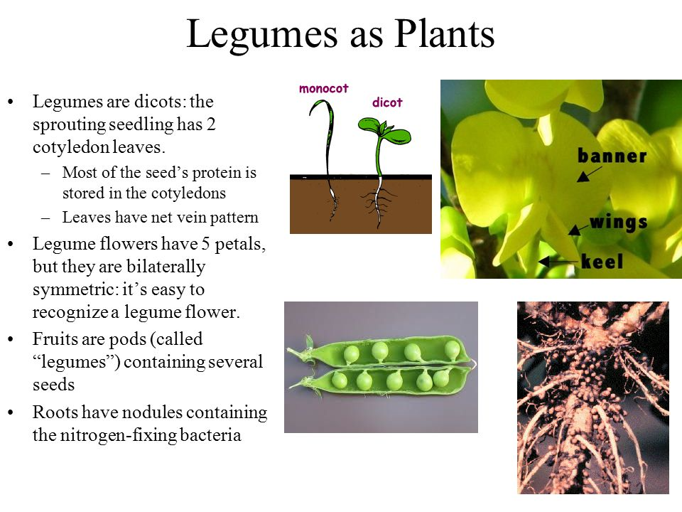 Legumes as Plants Legumes are dicots: the sprouting seedling has 2 cotyledon leaves. –Most of the seed's protein is stored in the cotyledons –Leaves h