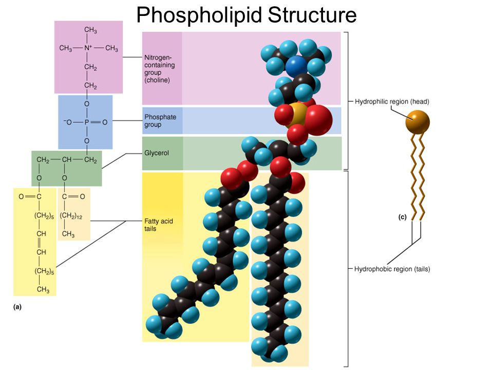 Phospholipid Structure