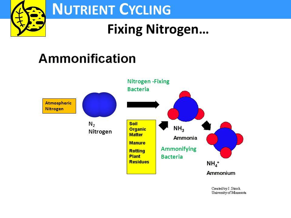 N UTRIENT C YCLING N 2 Nitrogen Atmospheric Nitrogen Ammonifying Bacteria Nitrogen -Fixing Bacteria Fixing Nitrogen…