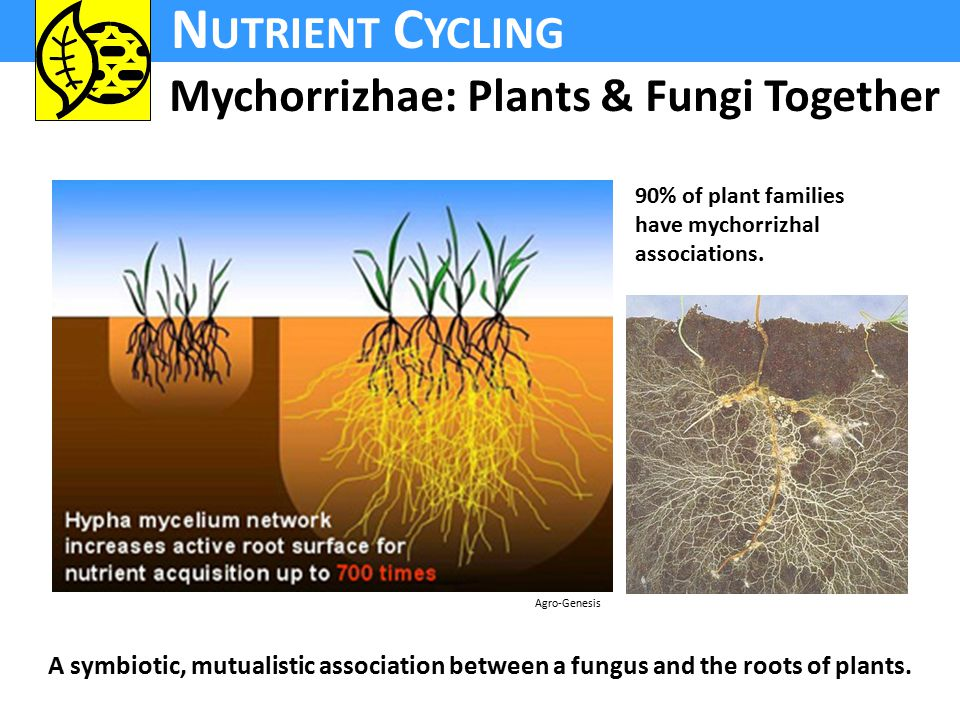 N UTRIENT C YCLING Mychorrizhae: Plants & Fungi Together 90% of plant families have mychorrizhal associations.