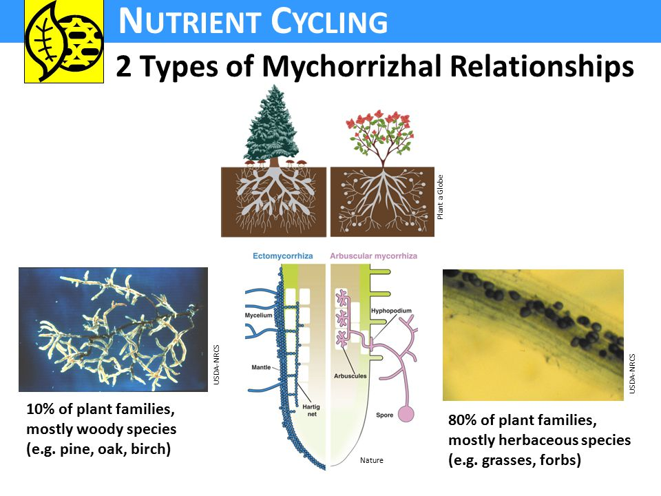 N UTRIENT C YCLING 2 Types of Mychorrizhal Relationships Nature Plant a Globe 10% of plant families, mostly woody species (e.g.