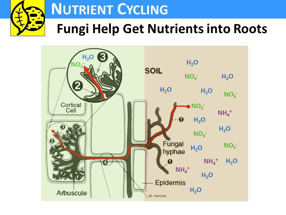 N UTRIENT C YCLING Fungi Help Get Nutrients into Roots NO 3 - NH 4 + NO 3 - H2OH2O H2OH2O H2OH2O H2OH2O H2OH2O H2OH2O H2OH2O H2OH2O H2OH2O H2OH2O H2OH2O M.