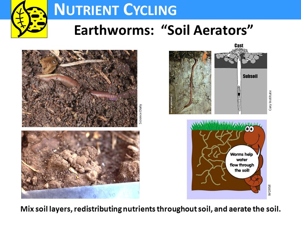 N UTRIENT C YCLING Earthworms: Soil Aerators Mix soil layers, redistributing nutrients throughout soil, and aerate the soil.