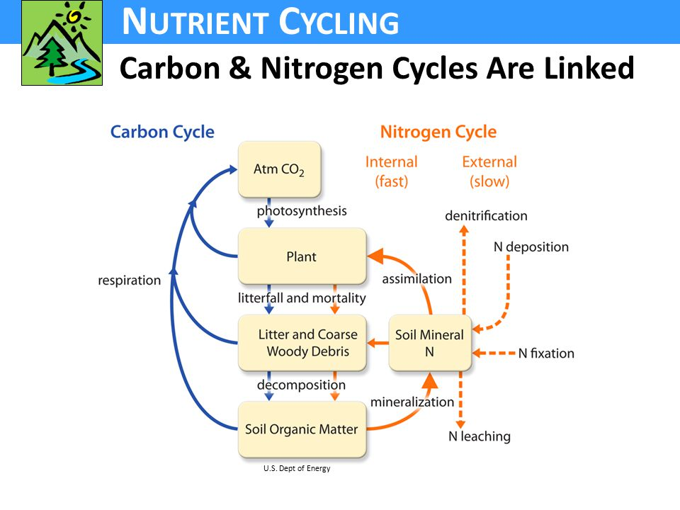 N UTRIENT C YCLING Carbon & Nitrogen Cycles Are Linked U.S. Dept of Energy