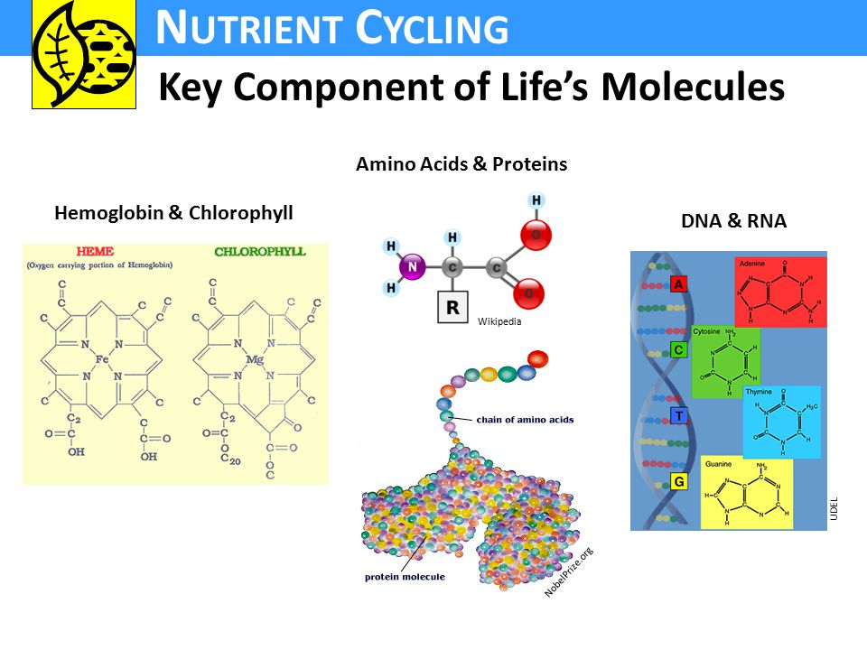 N UTRIENT C YCLING Key Component of Life's Molecules Hemoglobin & Chlorophyll Amino Acids & Proteins DNA & RNA UDEL Wikipedia NobelPrize.org