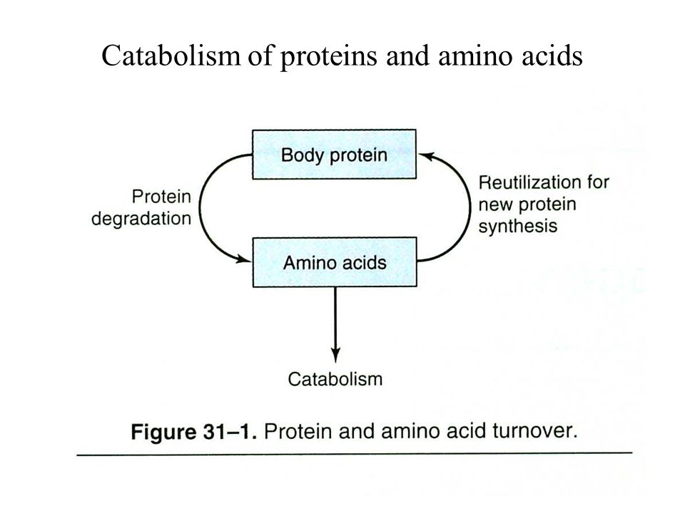 Catabolism of proteins and amino acids