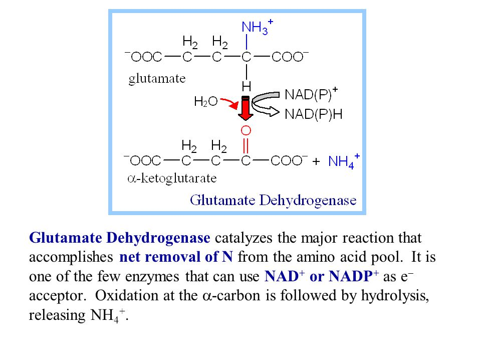 Glutamate Dehydrogenase catalyzes the major reaction that accomplishes net removal of N from the amino acid pool.