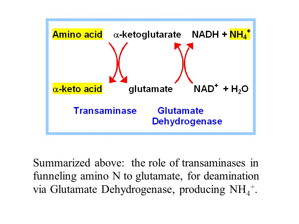 Summarized above: the role of transaminases in funneling amino N to glutamate, for deamination via Glutamate Dehydrogenase, producing NH 4 +.