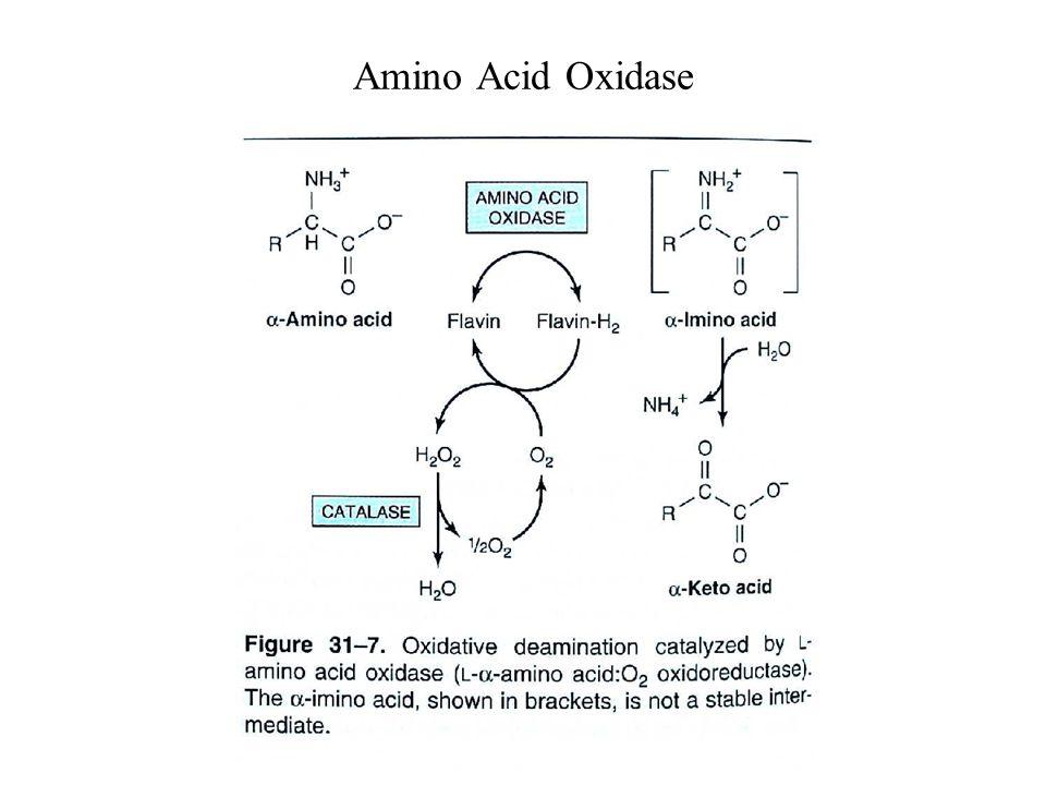 Amino Acid Oxidase