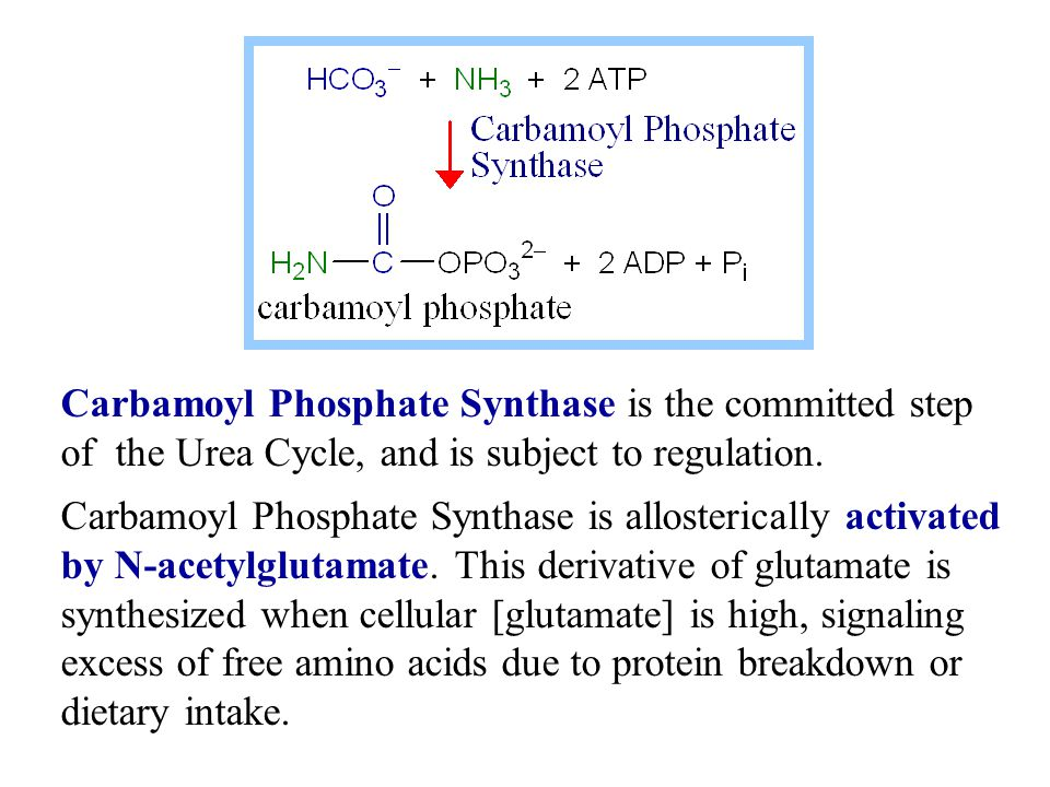 Carbamoyl Phosphate Synthase is the committed step of the Urea Cycle, and is subject to regulation.